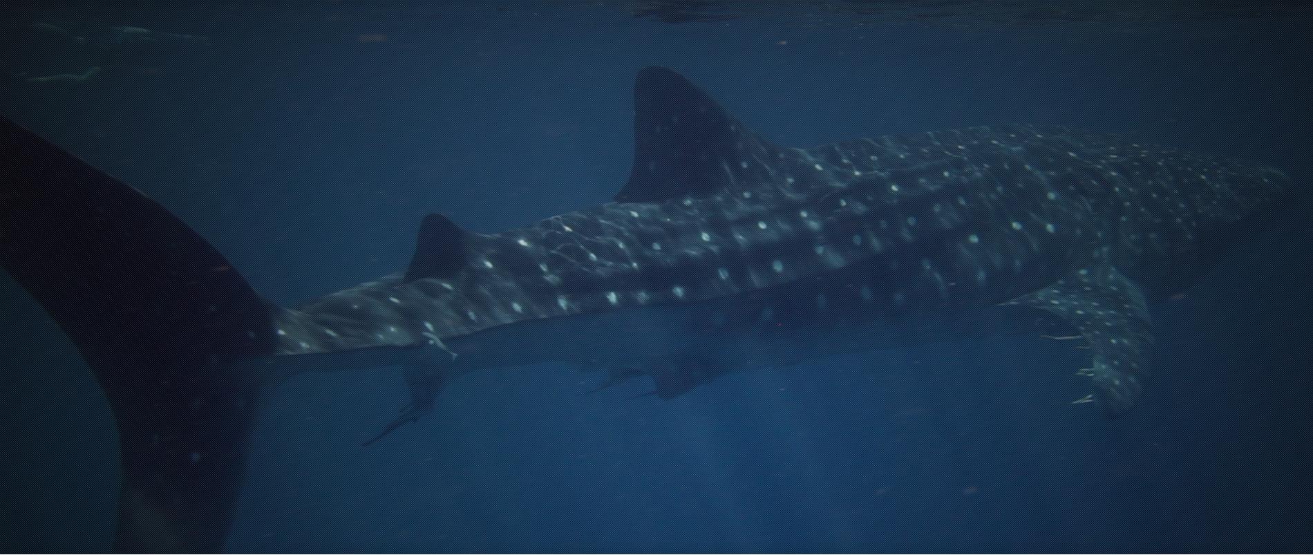 3 Island whale shark dive
